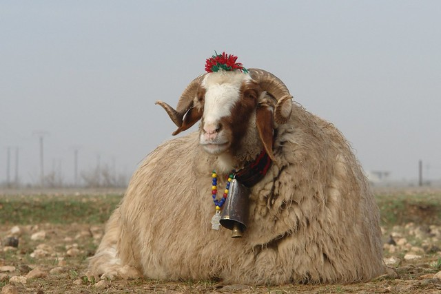 Dressed-up ram