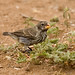 Ground and Cactus Finches - Photo (c) Laura Gooch, some rights reserved (CC BY-NC-ND)