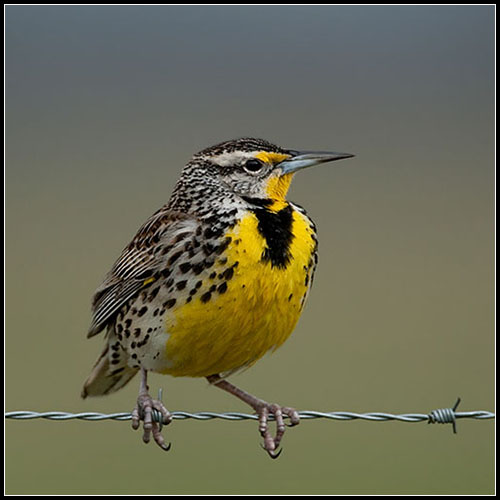 Western Meadowlark Flickr Photo Sharing