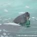 Swimming Away - Antarctica