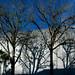 Small photo of UF Dauer Trees Wrapped a la Christo