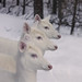 Wild Albino Whitetail Deer Three Queens