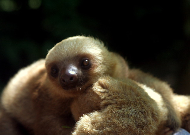 Baby sloth, being cute