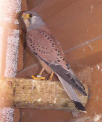 Falco tinnunculus 4428269825_5a018775a2_o