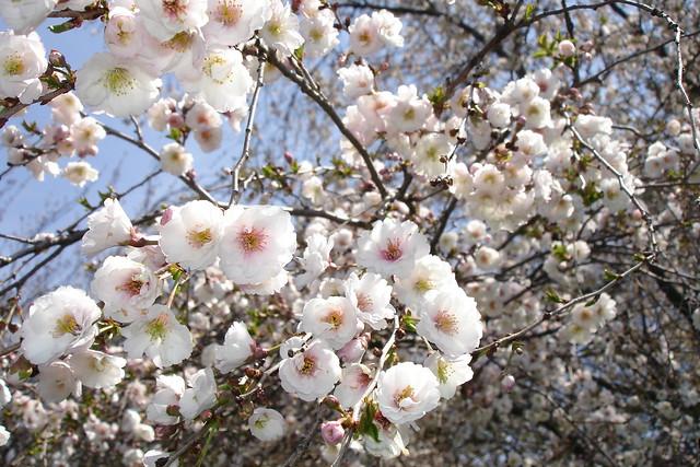 Prunus 'Hally Jolivette'. Photo by Dave Allen.