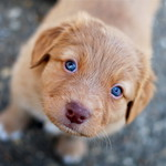 Blue Eyes; A Toller Puppy!