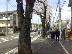 Cherry trees on the Kaigun-dori street