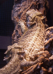 serpent(0.0), toad(0.0), agama(1.0), animal(1.0), reptile(1.0), lizard(1.0), macro photography(1.0), fauna(1.0), close-up(1.0), scaled reptile(1.0), wildlife(1.0),