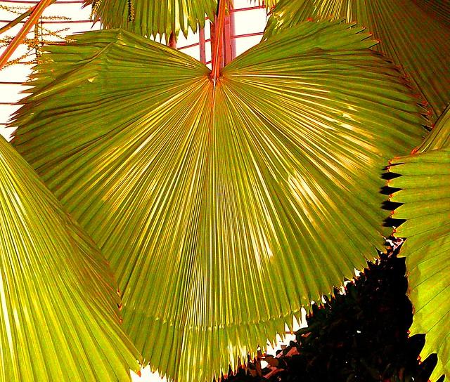 Brahea Armata Palm Trees (Mexican Blue Palm Trees/Blue