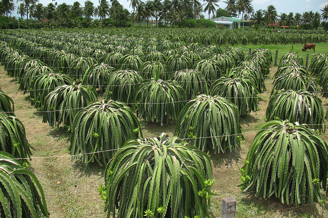 dragon fruit field