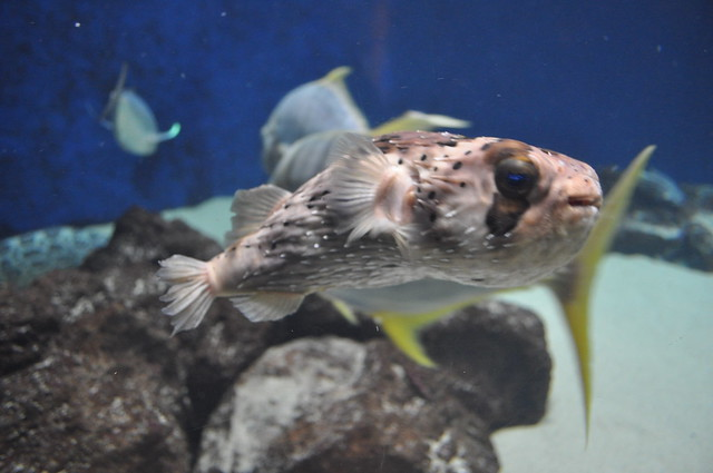 Birch aquarium puffer fish flickr photo sharing for Puffer fish aquarium