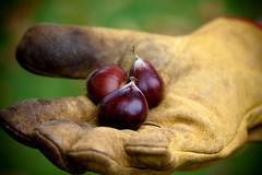 chestnut picking