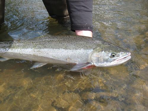 Mckenzie and willamette river summer steelhead report for Willamette river fishing report