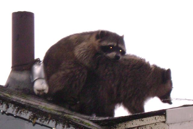R Is For Raccoon Raccoons mating | Flic...