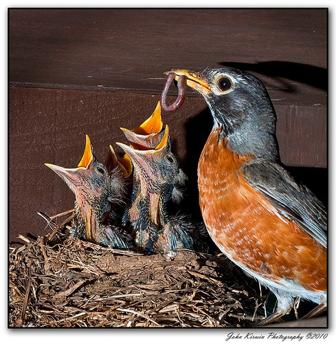 Robin-Feeding-Young-1