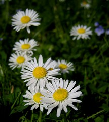tanacetum parthenium(0.0), aster(1.0), annual plant(1.0), flower(1.0), yellow(1.0), plant(1.0), marguerite daisy(1.0), chamaemelum nobile(1.0), daisy(1.0), wildflower(1.0), flora(1.0), oxeye daisy(1.0), meadow(1.0), daisy(1.0), petal(1.0),