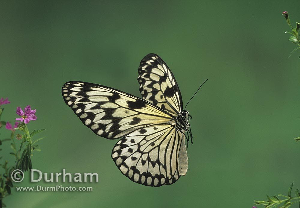 Michael durham photography paper for White paper butterflies