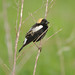 Bobolink - Photo (c) JanetandPhil, some rights reserved (CC BY-NC-ND)