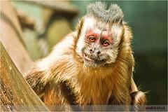 capuchin monkey(0.0), marmoset(0.0), macaque(0.0), animal(1.0), monkey(1.0), mammal(1.0), fauna(1.0), old world monkey(1.0), new world monkey(1.0), wildlife(1.0),