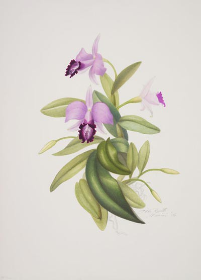 "Adele Rossetti Morosini, Laelia dayana 'Hartford', 2006.  Watercolor and mixed media on Arches, 14"" × 11"". © Copyright Brooklyn Botanic Garden"