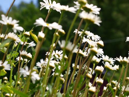flowers summer flower macro closeup dof sweden bokeh olympus e520 zuiko70300mm olympuse520 kinnahult harpebo peternyhlén
