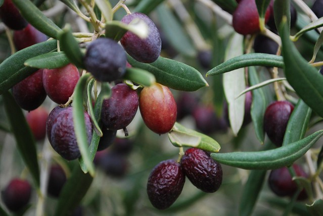 Half-ripe olives - Kyneton Olives | Flickr - Photo Sharing!