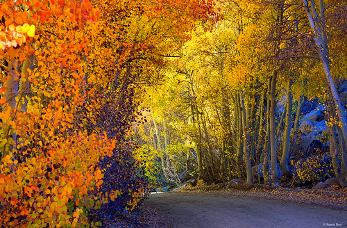Colorful Aspens Near North lake, Eastern Sierras, CA