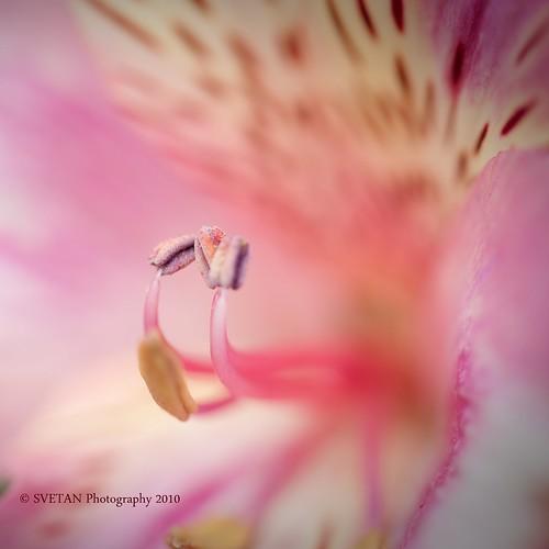 pink flower macro closeup interestingness nikon texas houston explore heights svetlana marquisa explored backyardphotography d700 svetlanavasiliadi russiantexas svetan vasiliadi svetanphotography explorednov82010286 svetalanavasiliadi