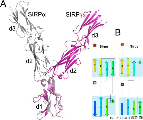 Comparison-of-the-structure-of-SIRPa-and-SIRPg-A-Overlay-of-SIRPa-PDB-id-2WNG-12_600_507