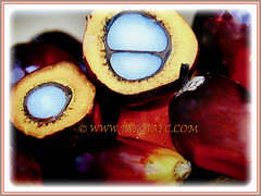Wonderful cross-section fruits of Elaeis guineensis (Oil Palm, African Oil Palm, Kelapa Sawit), 1 July 2017