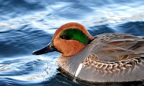 Green-winged Teal on the water.