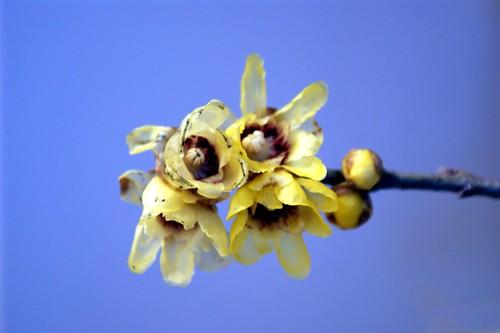 CALICANTO fiore di gennaio