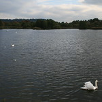 Swans on Herriott