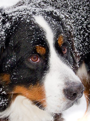 dog breed, nose, animal, dog, appenzeller sennenhund, mammal, greater swiss mountain dog, entlebucher mountain dog, close-up, bernese mountain dog,