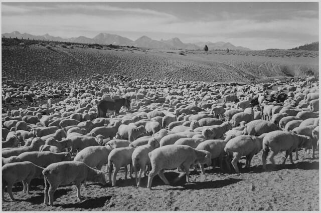 "Sheep ""Flock in Owens Valley, 1941."""
