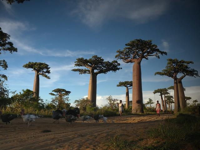 Allée des Baobabs near Morondava, Madagascar