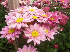 asterales, annual plant, flower, marguerite daisy, petal,