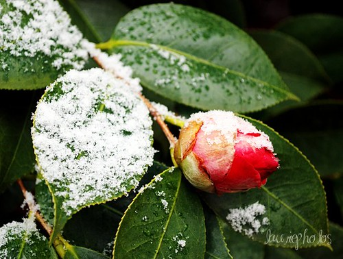 camellia snow arkansas bloom flower winter bud southernarkansasbeauty ruralarkansas alloverarkansas aflowershowcase arkansasphotography camellias christianphotographerfellowship