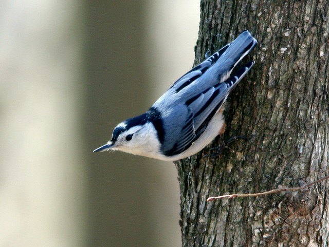 White-breasted Nuthatch 20100316