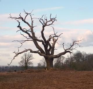 Dead Tree, Knole Park