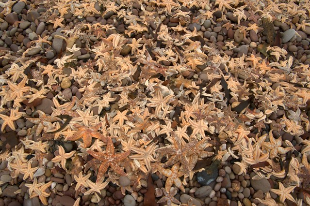 Dead starfish at Budleigh Salterton March 2010