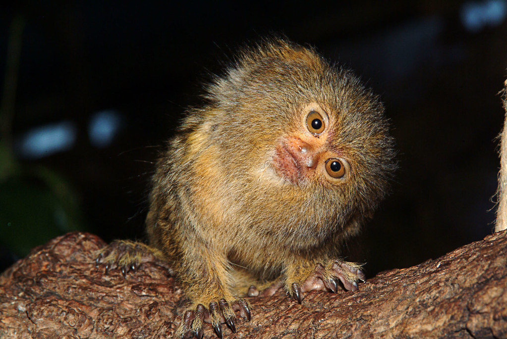 pygmy marmoset coloring pages - photo#34