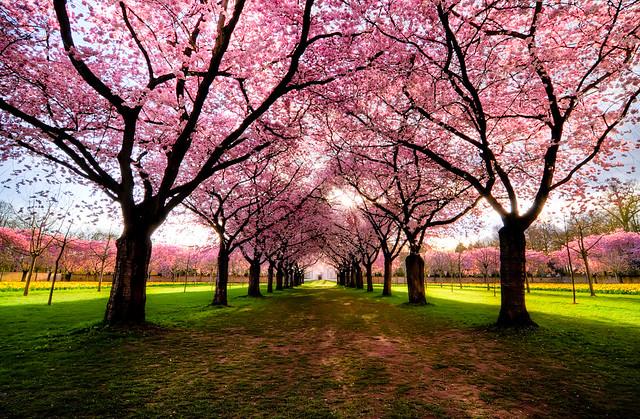 桜 Avenue