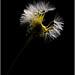 A medio camino...  (Taraxacum officinale 10-04-2010)