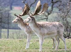 Deer - Woburn Abbey Deer Park April 2010