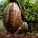 Cacao San Francisco de Macorís