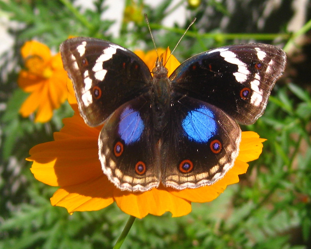 Blue pansy (Junonia oenone)