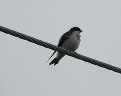 animal, perching bird, wing, fauna, swallow, beak, bird,