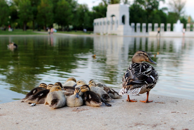 Reflecting Pool Ducklings
