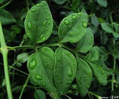 leaves filled wid rain droplets